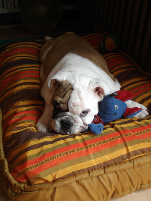 http://www.elliottlebulldog.com/images/bulldog/35/bulldog_68.jpg